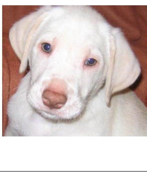 Yellow Lab Weimaraner Mix Dog Pictures Blog Mixed Breed Dogs Weimaraner Cute Puppies