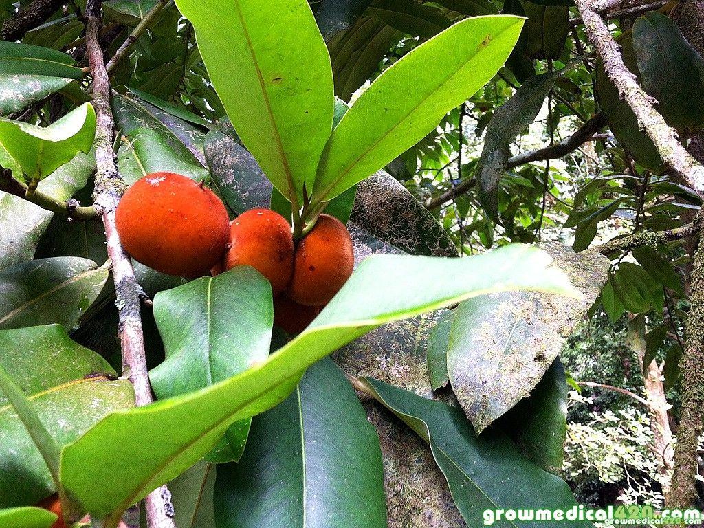 Velvet Apple/ Mabolo   Fruit Names   Pinterest   Velvet and Apples