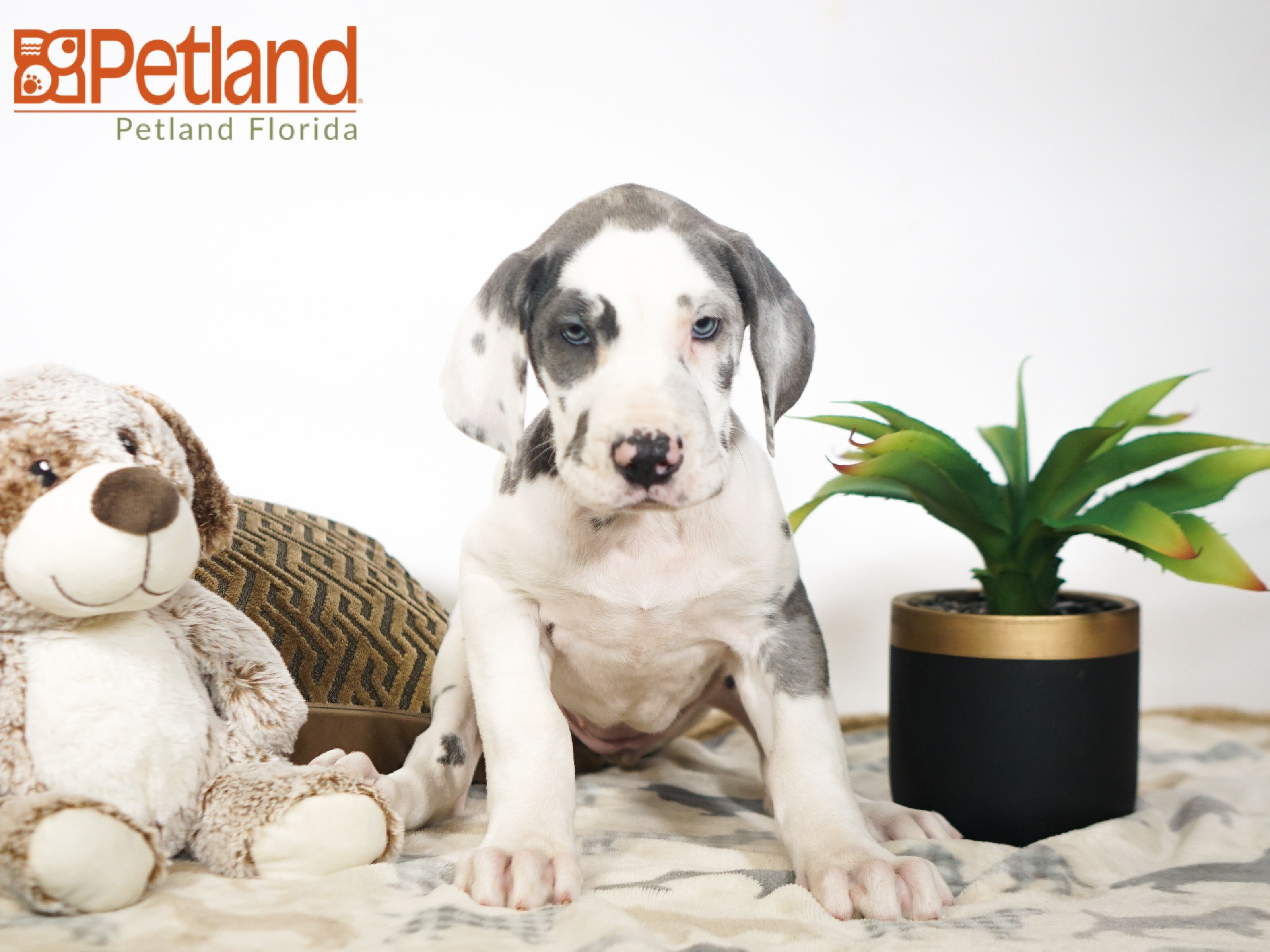 Petland Florida has Great Dane puppies for sale! Check out