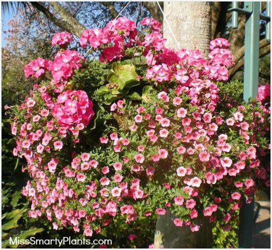 Calibrachoa:  Good cool season trailing plant;  Available in many colors;  Plant in October, lasts through May;  Can easily be trimmed back if it gets too big;  No cold protection needed