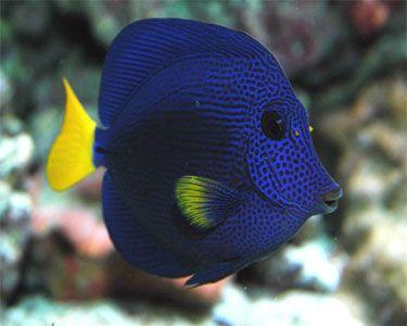 Purple Tang From John Michael To Jordy Marine Fish Ocean Creatures Aquarium Fish Tank