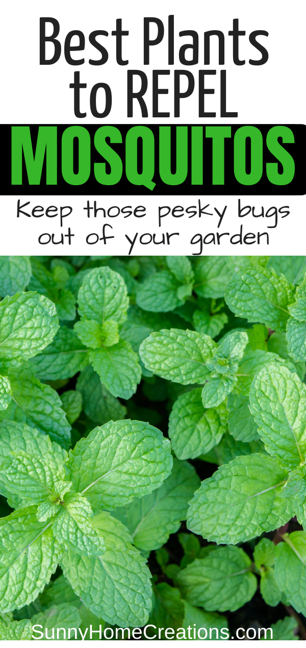 13 Best Mosquito Repellent Plants is part of Mosquito repelling plants, Mosquito plants, Best mosquito repellent plants, Plants, Backyard vegetable gardens, Cool plants - Ready to rid those pesky mosquitos once and for all  These are the best mosquito repellant plants to add to your yard and garden!