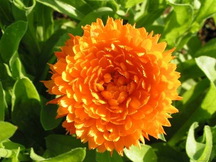 Calendula (Calendula officinalis). Creams with calendula are great for skin.
