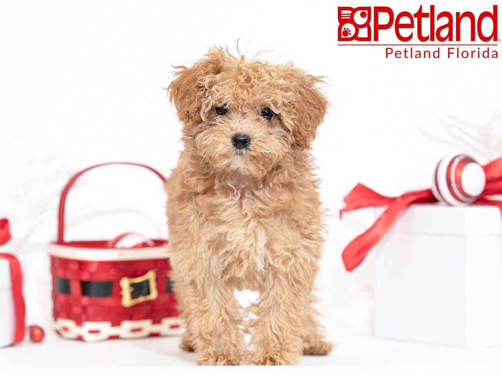 Petland Florida has Poodle puppies for sale! Check out all