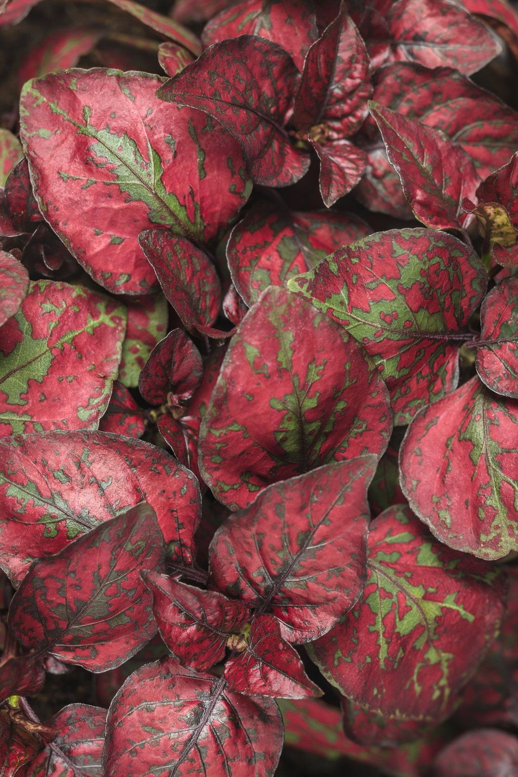 red leaved house plants