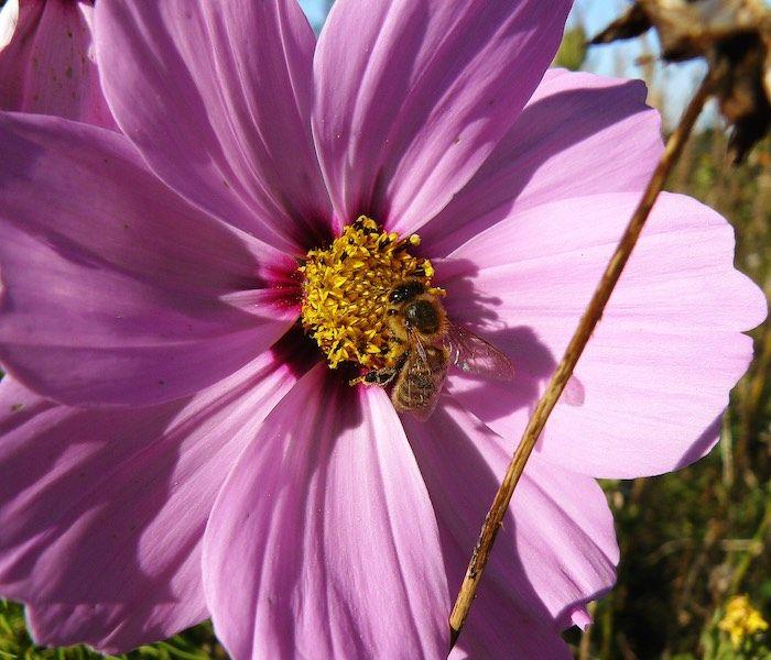 Cosmos Seeds For Sale 35 Varieties Annual Flower Seeds Annual Flowers Flower Seeds Seeds For Sale
