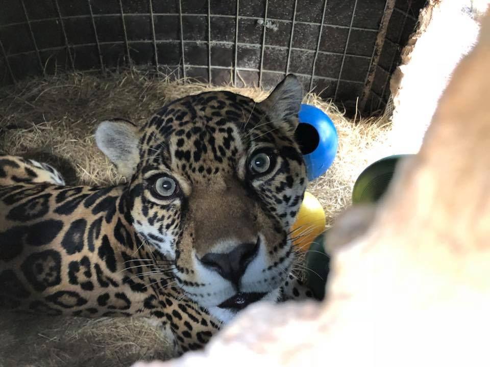 Manny Big Cat Rescue Big Cat Rescue Tampa Big Cats