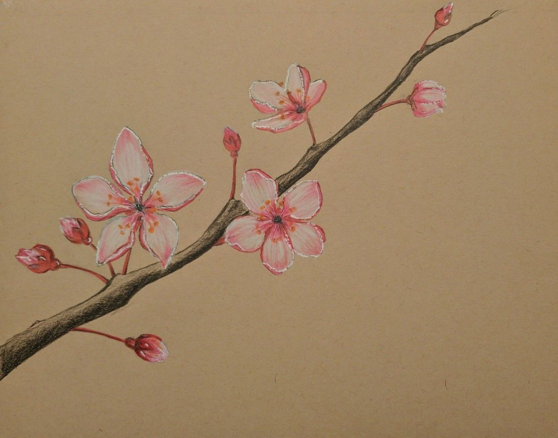 Cherry Blossom Color Pencil Drawing Cherry Blossom Drawing Flower Drawing Realistic Flower Drawing