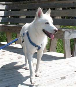 Siberian Husky German Shepherd Mix Mixed Breed Dogs Husky