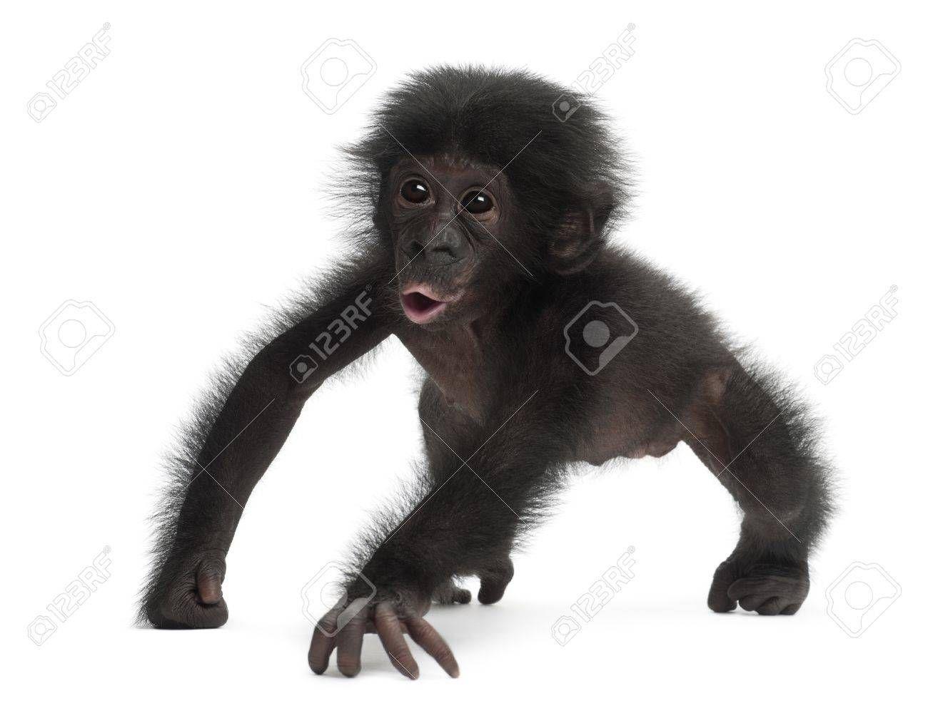 赤ちゃんピグミー チンパンジー ボノボ 4 ヶ月 白い背景に 歩いて チンパンジー ボノボ 赤ちゃん