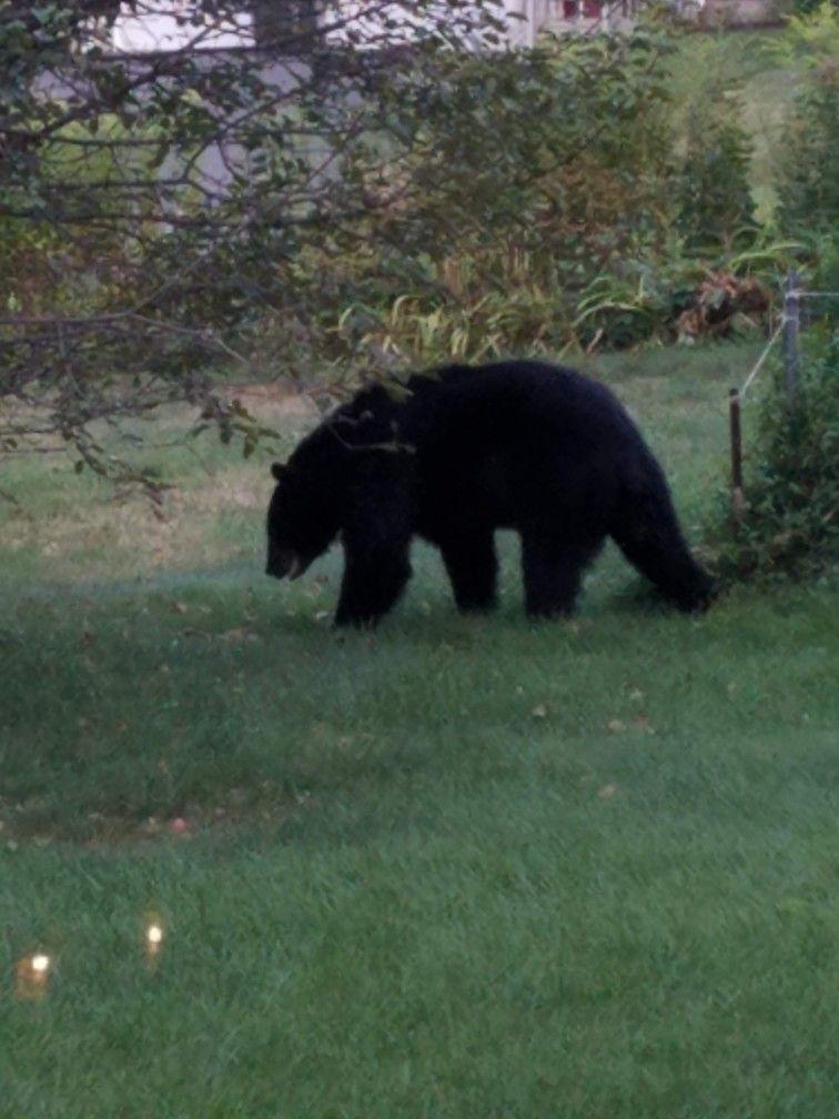 Pin by Althea Prigitano on BACKYARD VISITORS   Black bear ...