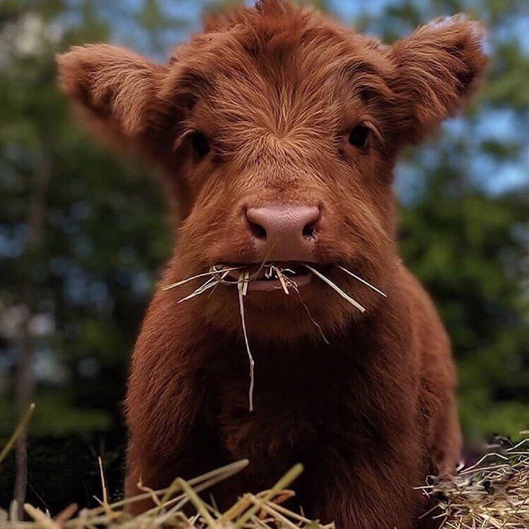 Cows On Instagram Via Campo Argentino What A Mouthful Cow Cow In 2020 Fluffy Cows Cute Baby Cow Baby Animals Pictures