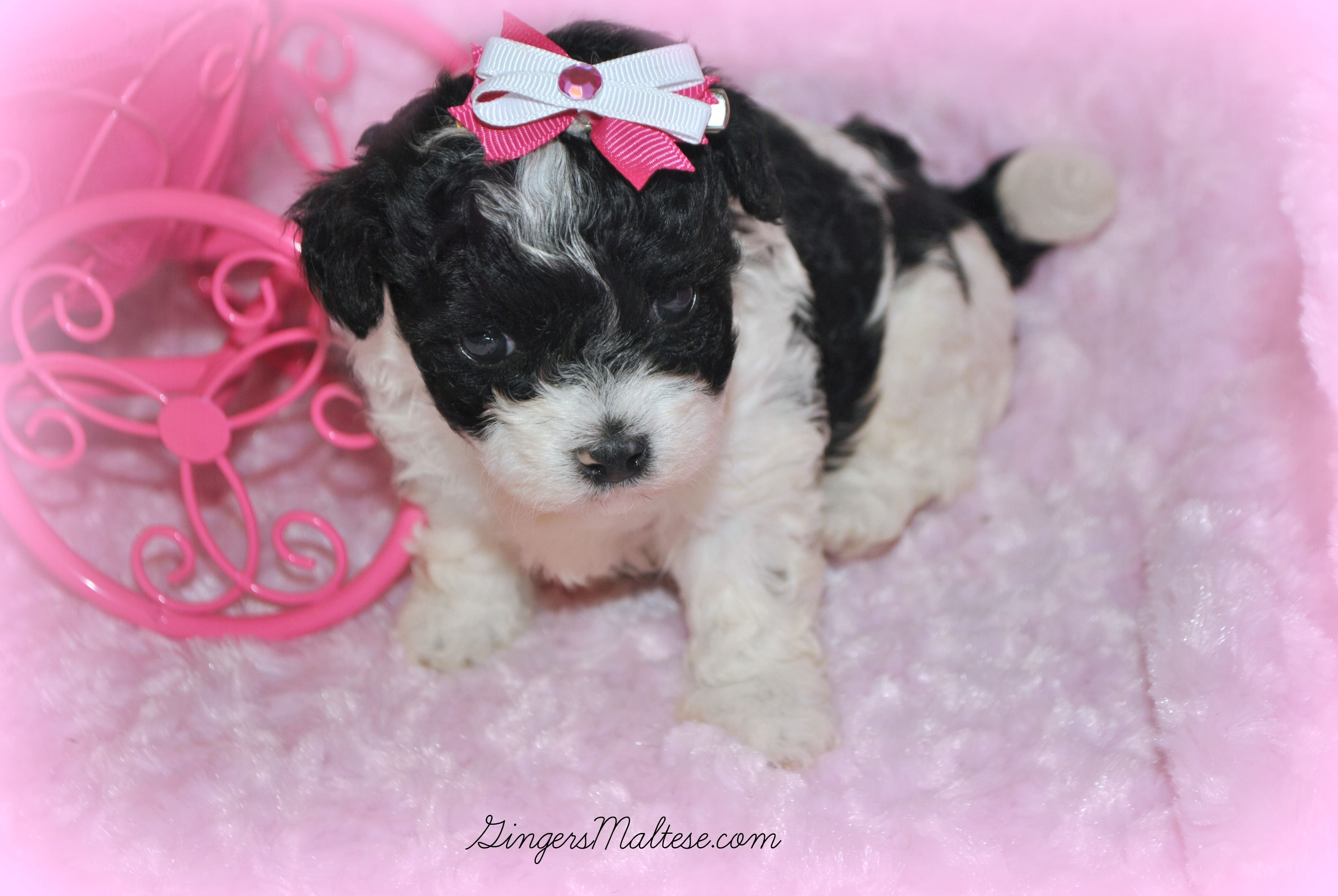 Free Maltipoo Puppies Maltipoo Puppies For Sale Near Raleigh Nc