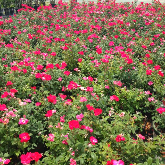 Our knock out roses are huge and only $18.88 in a 3 gallon. Can't beat that.