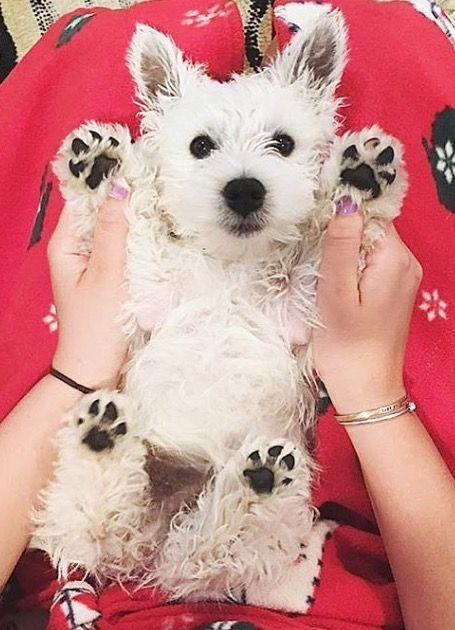 Pin By Boy Dog Names On No 4 Scottish Terrier Westie Puppies West Highland Terrier Cute Animals