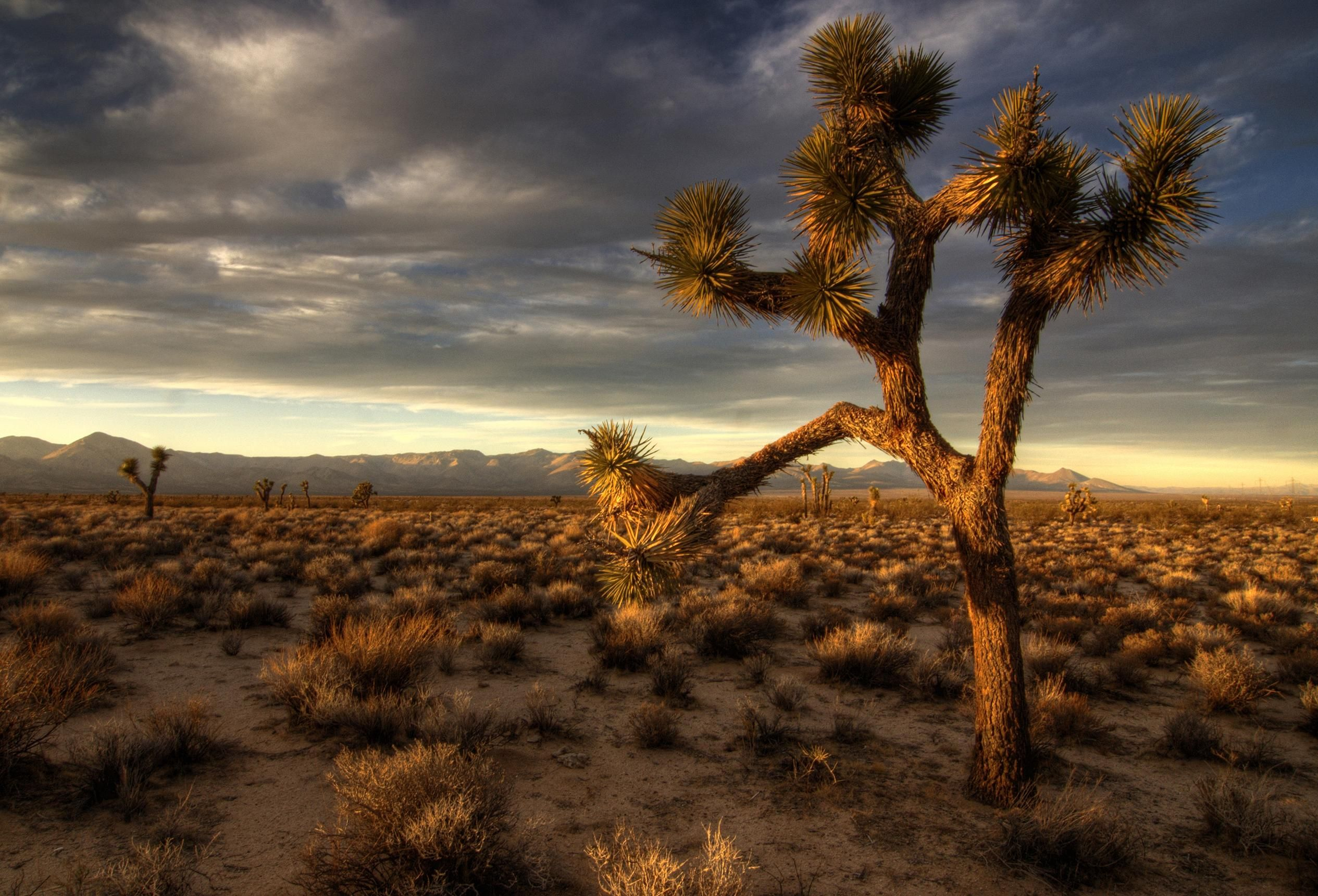 sunset on joshua tree in the mojave desert | wallpaper | Pinterest ...