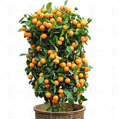 Bonsai Orange Potted Edible Tangerine Citrus Fruit Dwarf Orange Tree Fruit Plants Tree Seeds Home Garden Plants