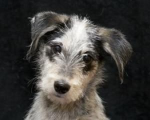 Bianca is an adoptable Wirehaired Terrier Dog in DeKalb, IL. TAILS works with a wonderful rescue network coordinated by Save Our Strays in Oklahoma, that ensures that puppies and small dogs are given ...