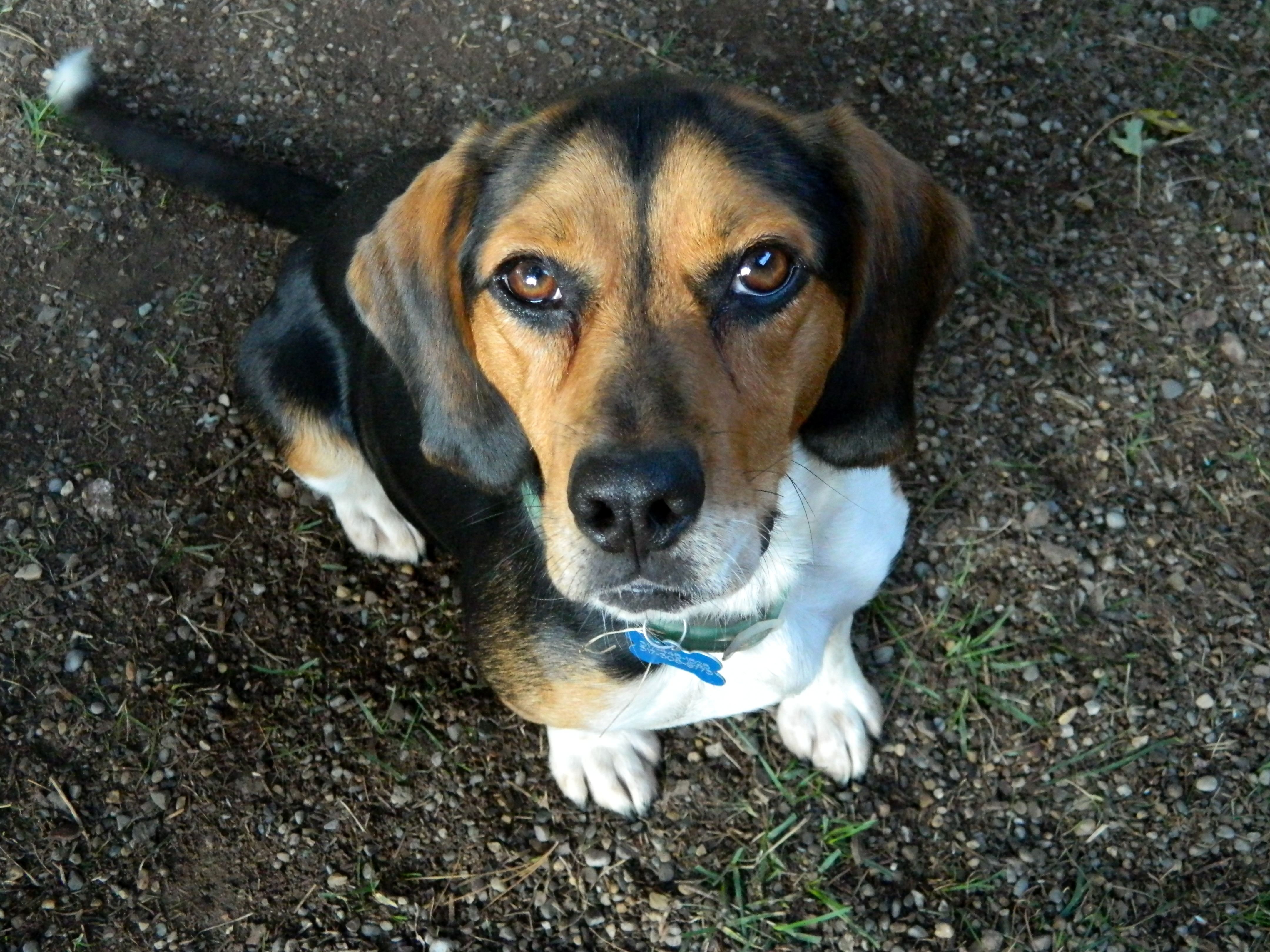 Handsome Tricolor Beagle Dog Beagle Dogs Animals