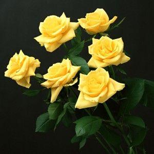 صور ورد اصفر 2015 يجنن صور ورود صفراء 2015 Yellow Rose Flower Yellow Roses Flower Seeds