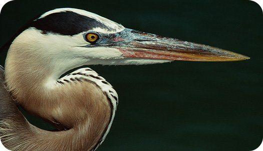 Meaning Of The Heron Totem Swimming Bird Girl Pinterest Heron