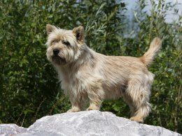 Grooming Tips For A Cairn Terrier Puppy Cairn Terrier Cairn