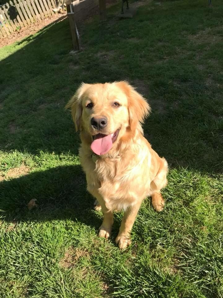 Bentley is missing. He's a super sweet 9mo old male golden