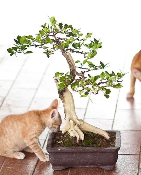 Bonsai and cat Bonsai tree, Bonsai, Cats