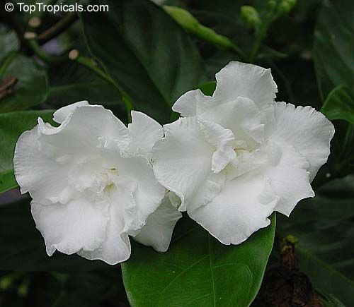 4245 Tabernaemontana Flore Pleno Crape Jasmine 1 Gal Pot Crape Jasmine Carnation Of India Florida Gardenia F White Flowering Trees Plants Fragrant Plant