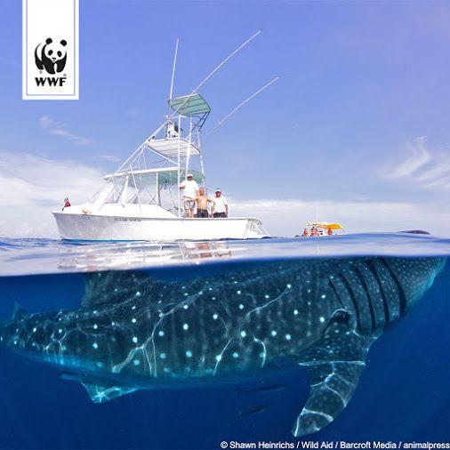 Was für eine unglaubliche Aufnahme! Auf einmal wirkt die Jacht und ihre Mannschaft ganz klein, über dem 15 Meter langem Walhai. Mehr Infos zum Walhai…  -  WWF Deutschland – Google+
