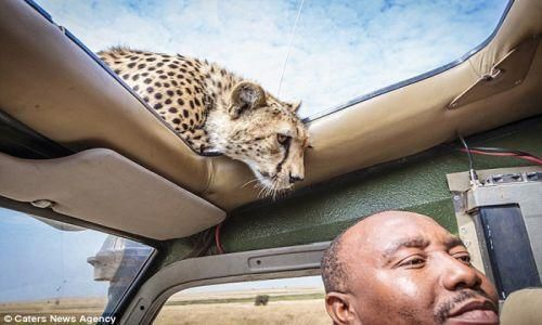 This Is A Moment That Would Make Your Heart Stop. Watch What This Cheetah Does