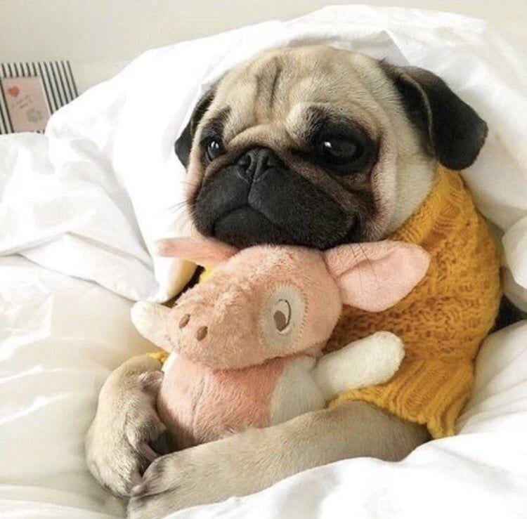 Good Night My Dear Friends 5000 Hearts On We Heart It Cute Pug