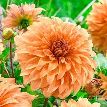Spartacus Orange Dahlia Breck\'s | Dahlias | Pinterest | Spartacus ...