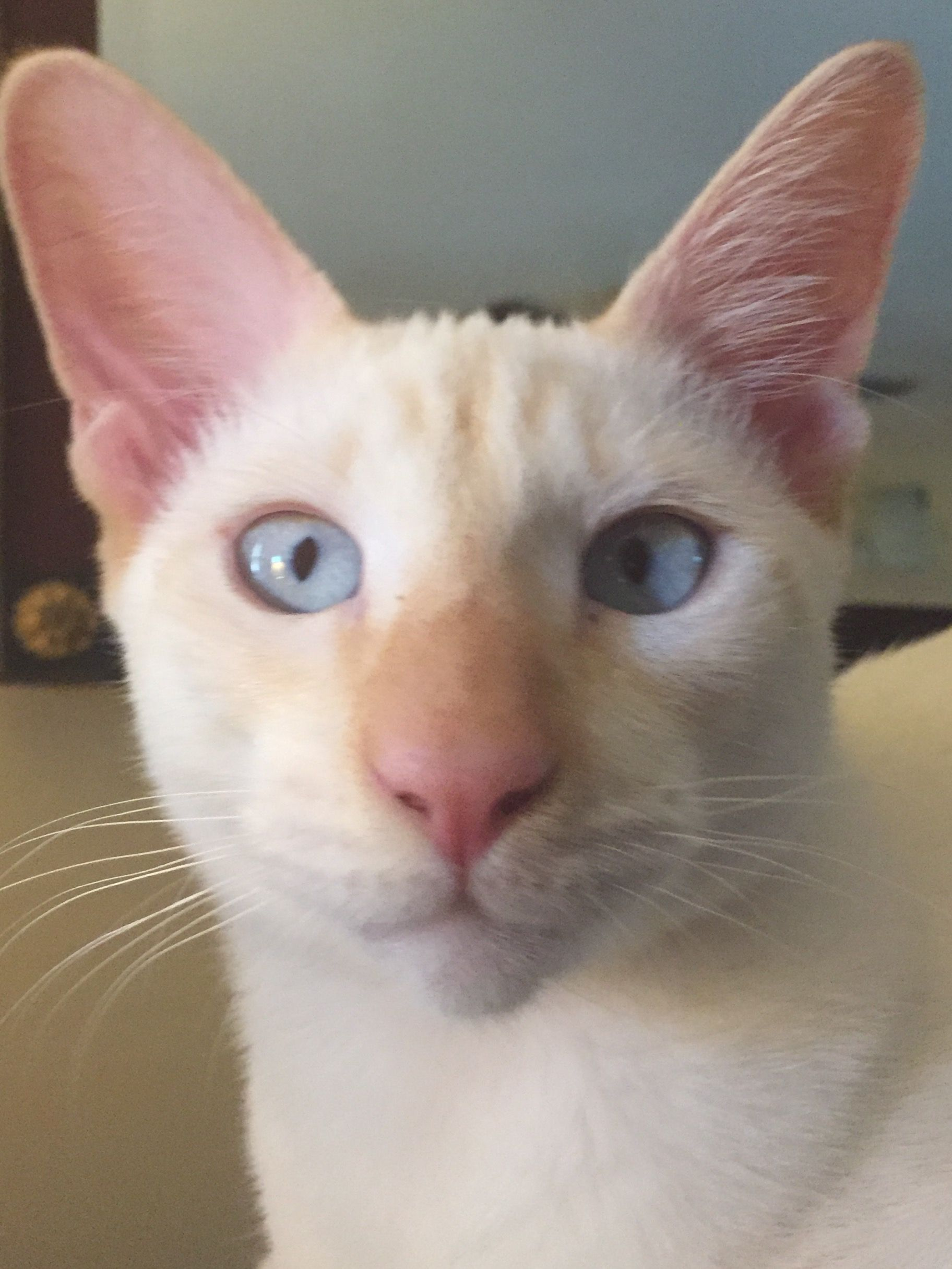 Gato De 5 Meses Flame Point Siamese 5 Months Old Prince Is Our Blue Eyed Baby
