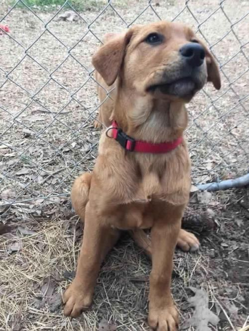 Meet Belle Db A Petfinder Adoptable Golden Retriever Dog