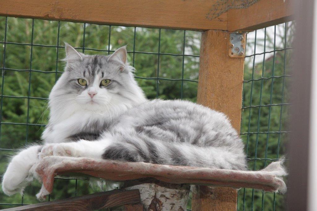 Lumikissan Bandiitti Siberian Cat Animals Cats