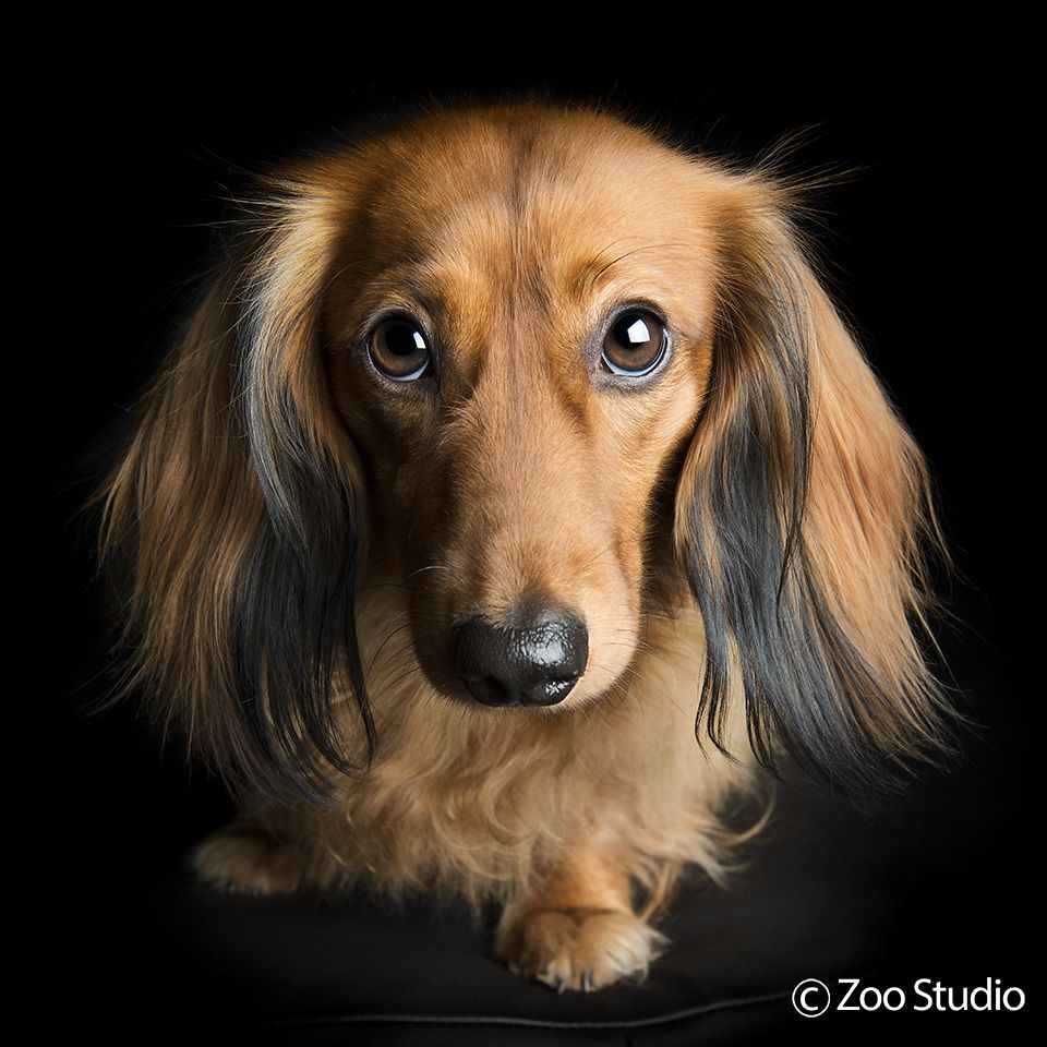 Long Haired Dachshund Bertie Zoo Studio Pet Photography
