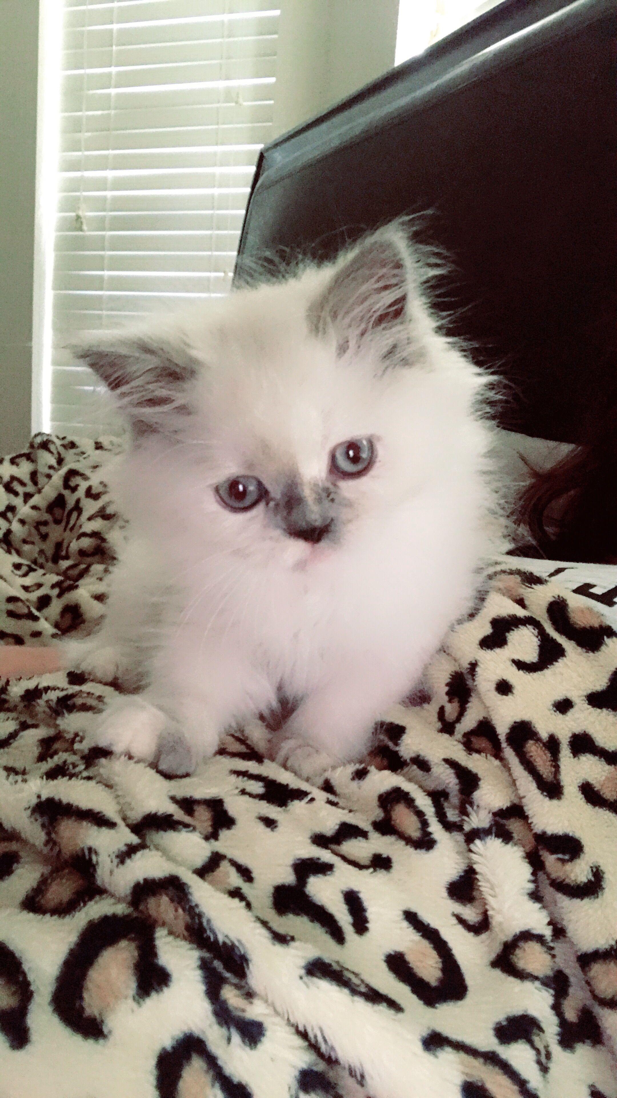 Pin By Ennovi On Purralot Kittens Austin Tx Kittens Ragdolls For Sale Animals