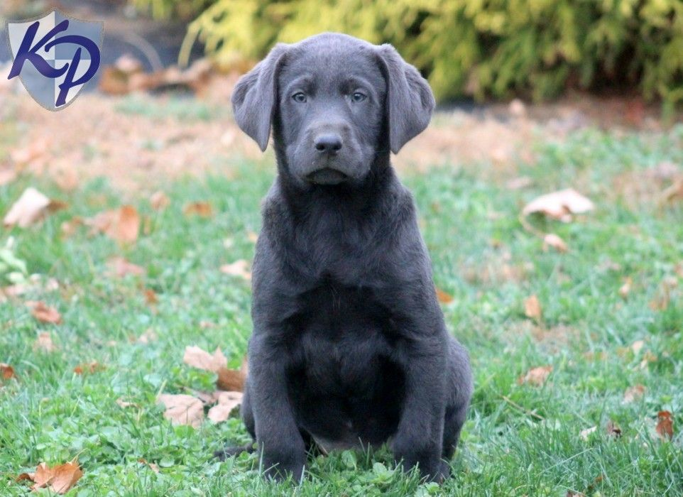 Stunning Purebred English Lab FemaleCharcoal from Philly