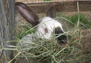 Rabbits/Meat/Hunting and more: Cool Post from Stone & Thistle Farm On Raising Rabbits On Pasture