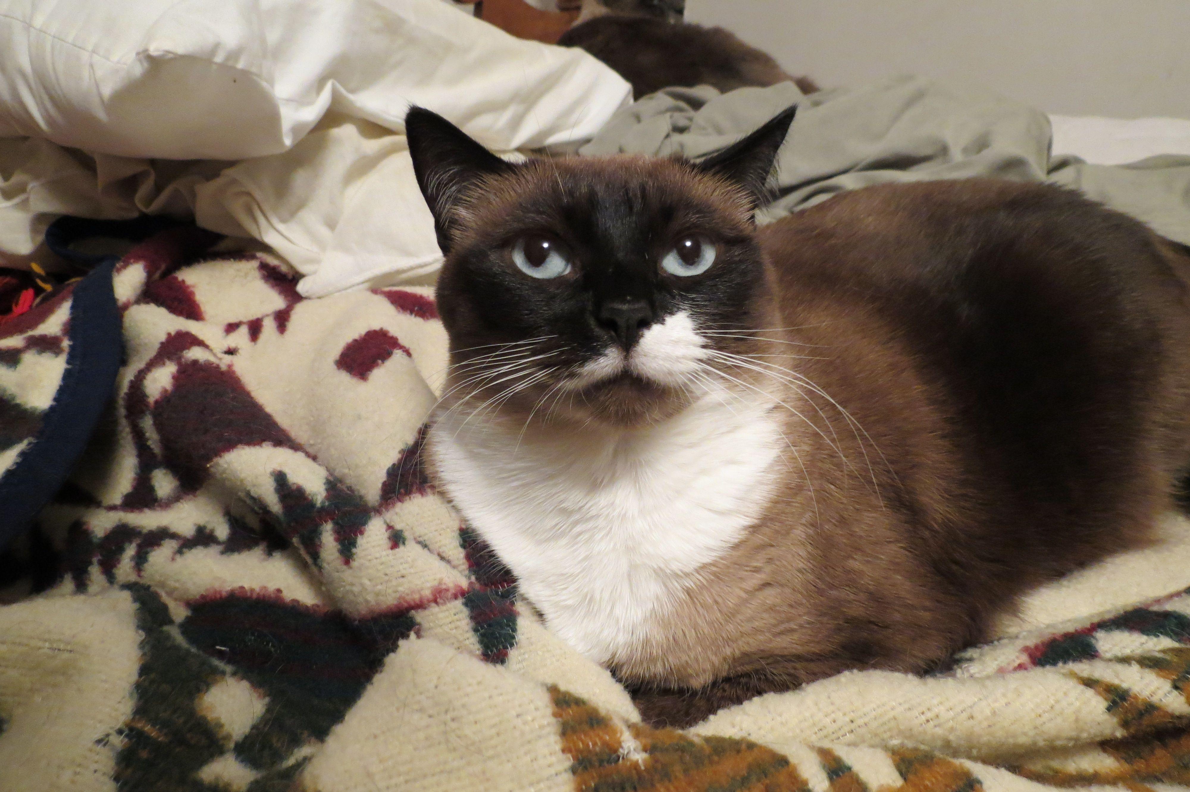 beautiful siamese Pets, Animals, Cats