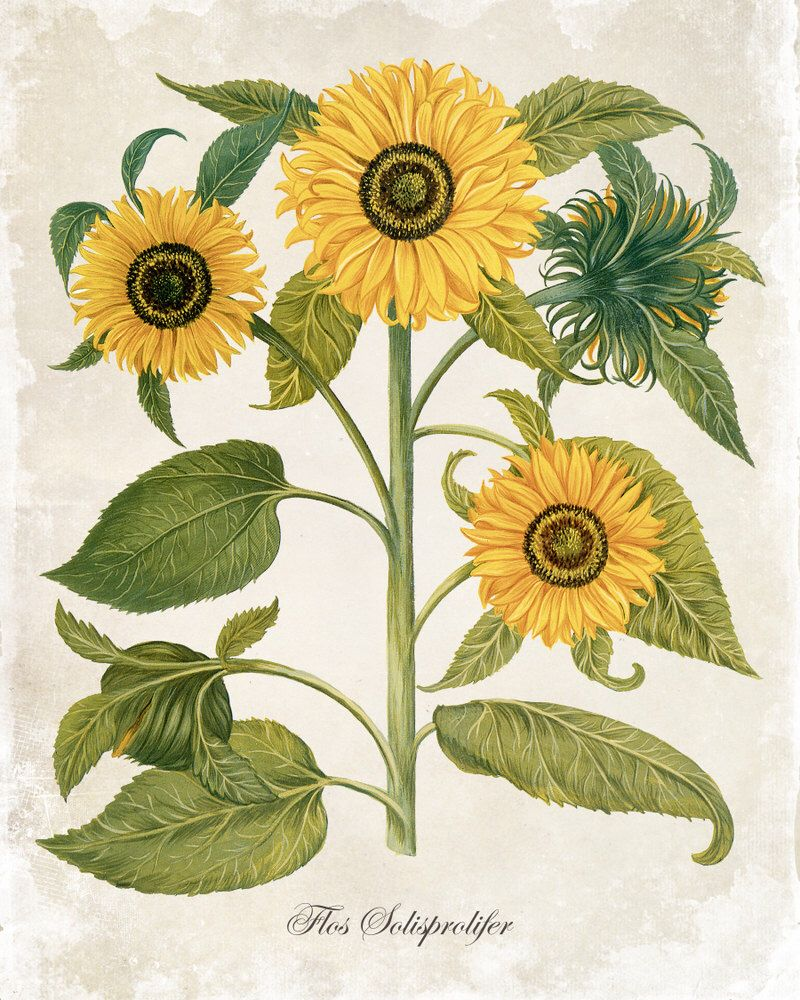 Antique Sunflower Trio - Botanical Print - Giclee Canvas Art Print - Poster - Wall Art - Home Decor - Multiple Sizes Starting at USD 15.00+ by BelleBotanica on Etsy https://www.etsy.com/listing/235941304/antique-sunflower-trio-botanical-print