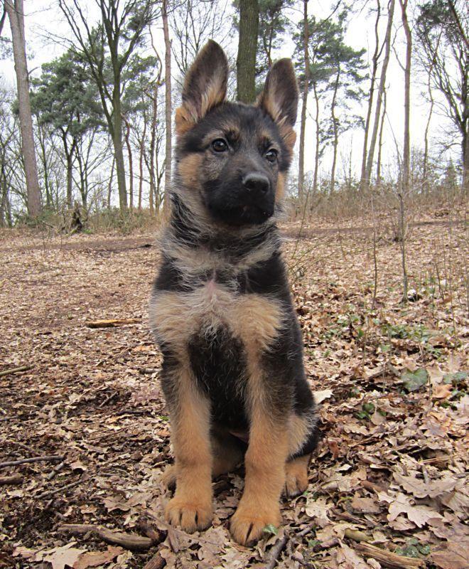 German Shepherd Puppy Germanshepherdpuppy German Shepherd
