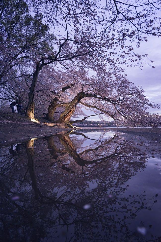 Washington Dc Cherry Blossoms Cherry Blossom Dc Cherry Blossom Tree Cherry Blossom