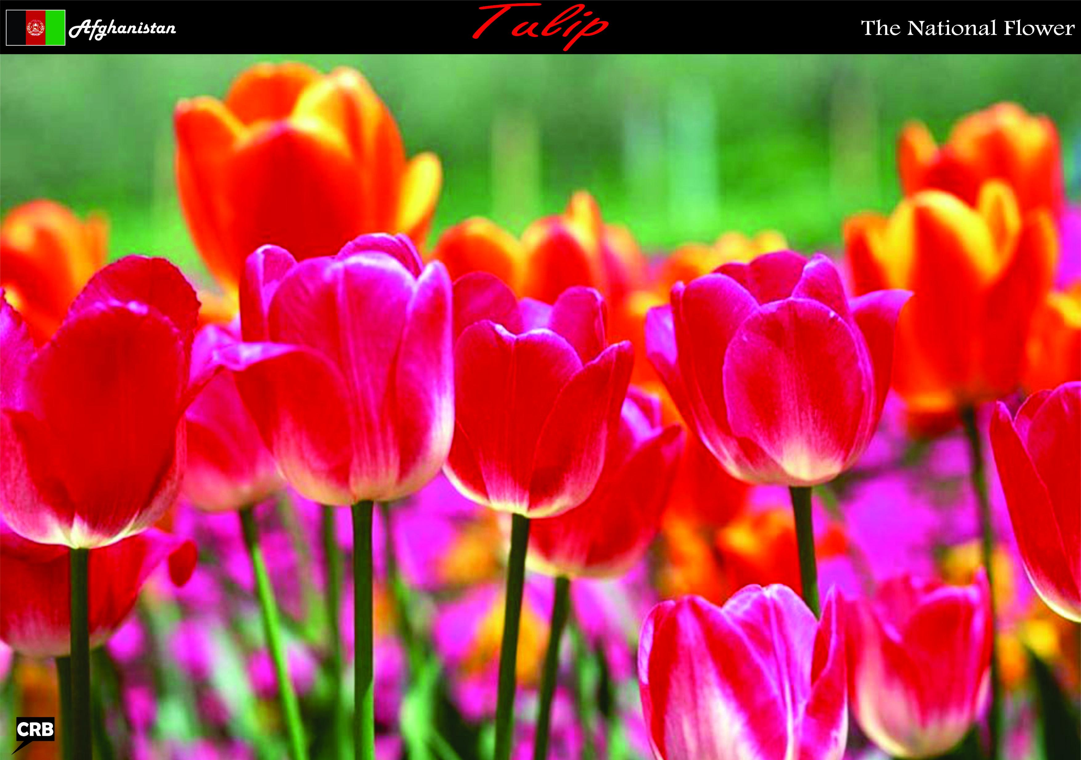 Flower Afghanistan Flores Da Primavera Flores Bonitas Papel De Parede Flores