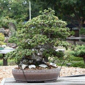 oak quercus care guide pinching spring fall pruning late rh pinterest com Bonsai Silhouette Bonsai Silhouette