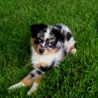 My Mini Aussie Brody Blue Eyes Mini Australian Shepherd Cutest Dog Ever Australian Shepherd Puppies Toy Australian Shepherd Kittens And Puppies