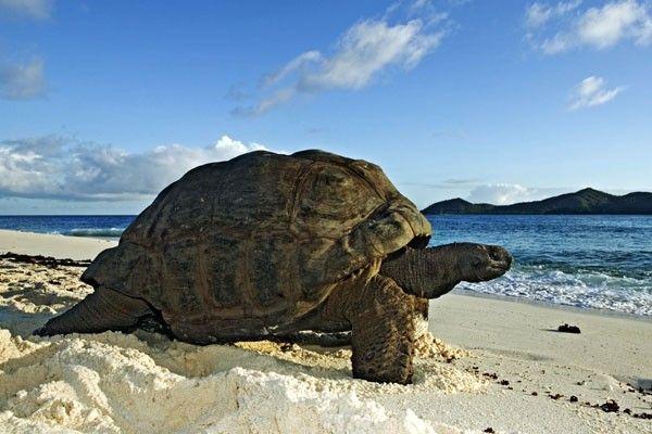 Aldabra giant tortoise (Photo by: Martin Harvey) http://cousinisland.net/discover