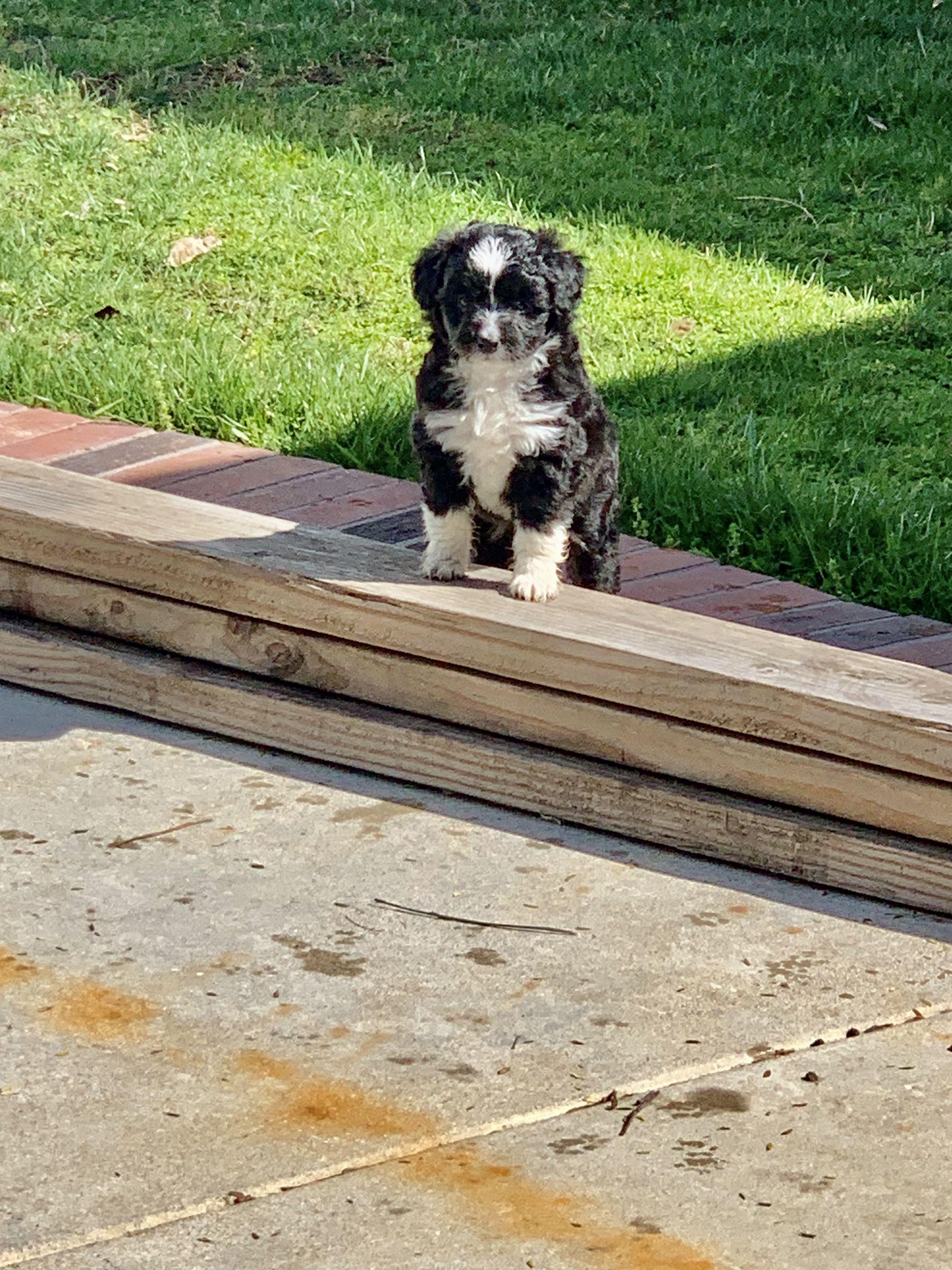 Foxy (F1) in 2020 Puppies, Puppy finder, Puppy adoption