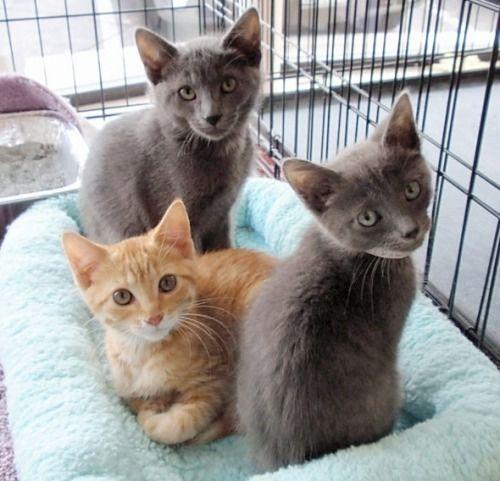 Adopt Petsmart Kittens On Petfinder Amber Earrings Amber Jewelry Cat Earrings